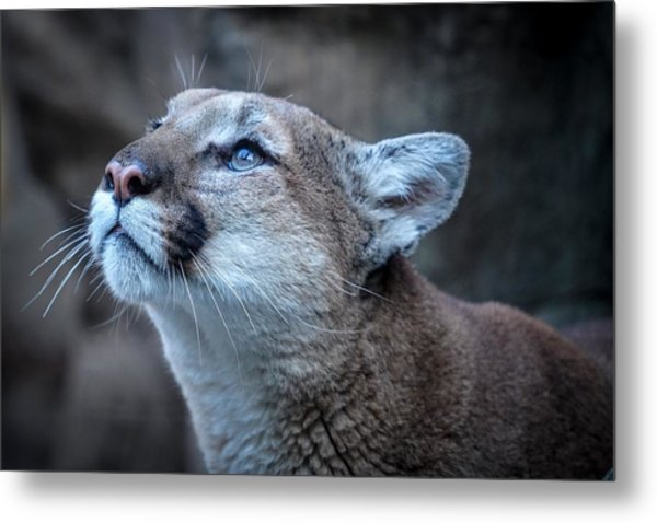 Beautiful Puma Metal Print