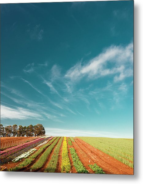 Metal Print featuring the photograph Beautiful Tulip Farm At The Table Cape In Tasmania. by Rob D