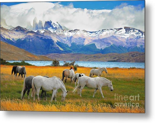 Beautiful White And Gray Horses Grazing Metal Print