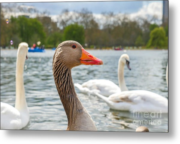 Beautiful Young Swans In Lake Wildlife Metal Print