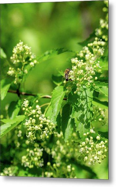 Bee On Amur Maple 1 Metal Print