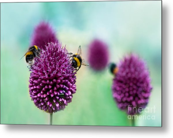 Bees On Allium Sphaerocephalon.  Allium Metal Print
