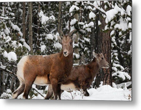 Bighorn Sheep In Deep Snow Metal Print