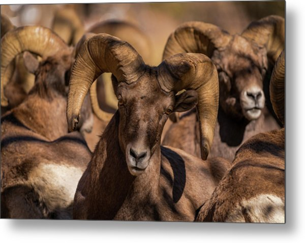 Bighorns Resting In The Afternoon Sun Metal Print