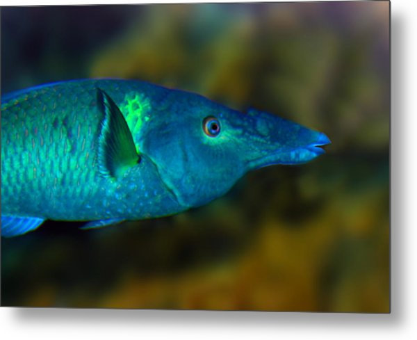Bird Wrasse Metal Print