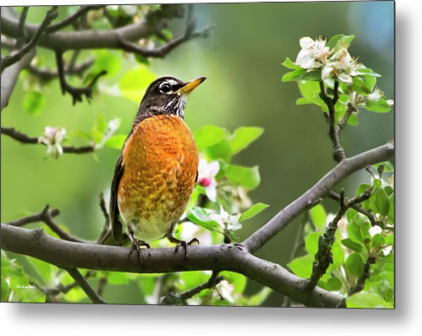Birds - American Robin - Nature's Alarm Clock Metal Print