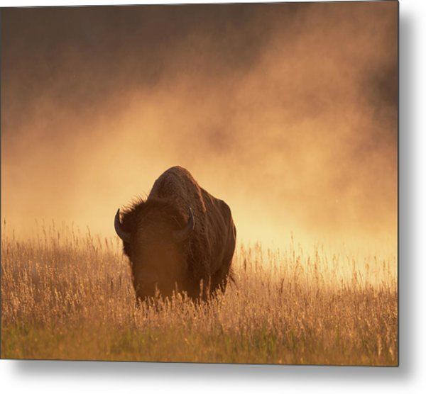 Bison In The Dust 2 Metal Print