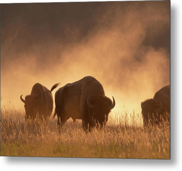 Bison In The Dust Metal Print