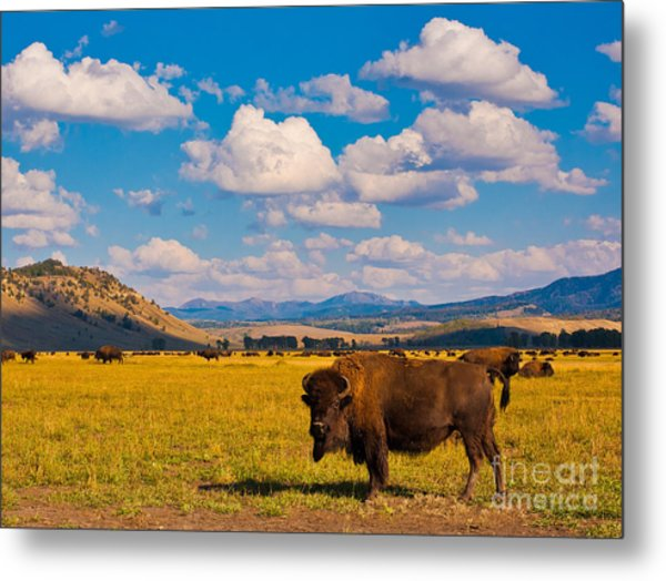 Bison Paradise In Yellowstone National Metal Print