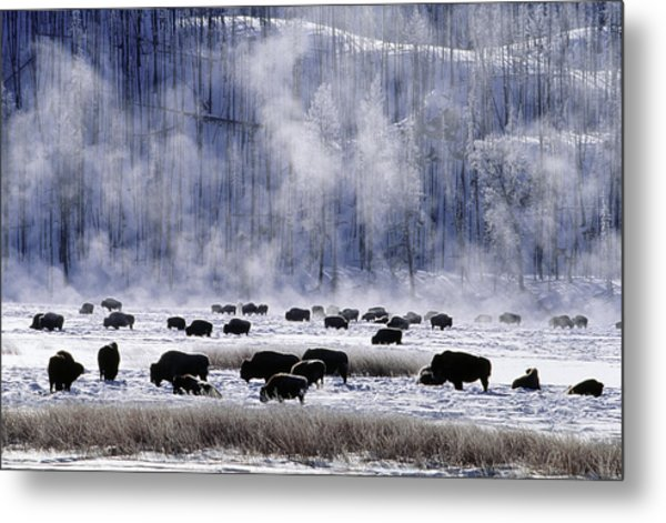 Bisons In Winter At Yellowstone Metal Print