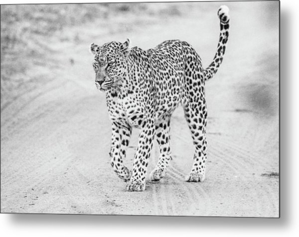 Black And White Leopard Walking On A Road Metal Print