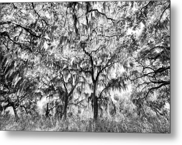 Black And White Of Live Oaks Draped Metal Print by Adam Jones
