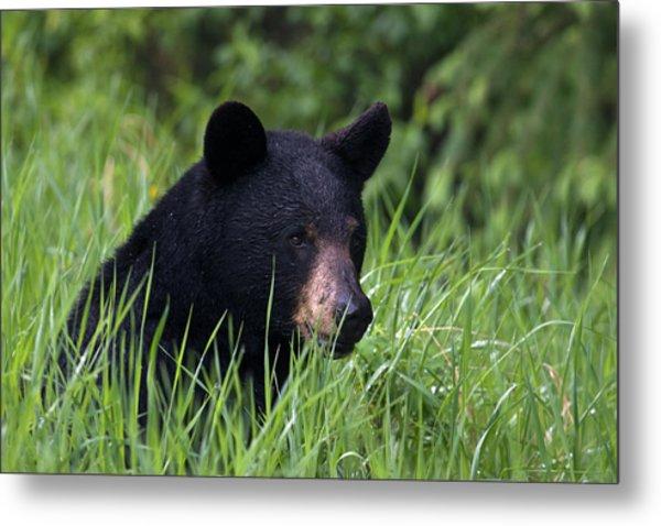 Black Bear, Spring Rain Metal Print by Ken Archer