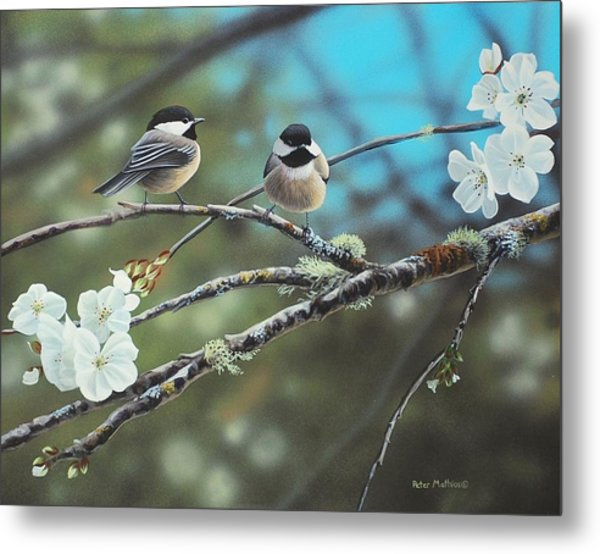 Black Capped Chickadees Metal Print