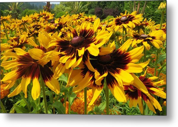 Black-eyed Susan In Your Face Metal Print