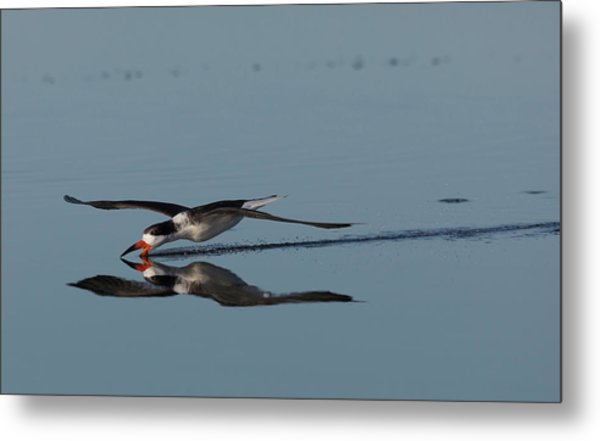 Black Skimmer, Skimming For A Meal Metal Print