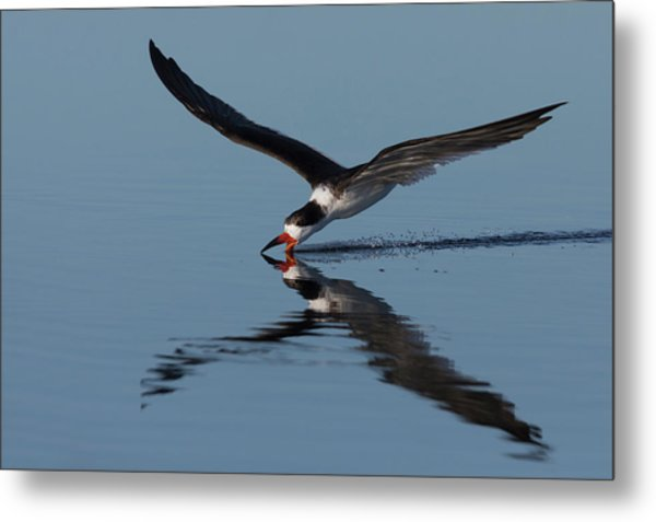 Black Skimmer Skimming For Food Metal Print