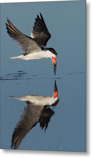 Black Skimmer With Freshly Caught Meal Metal Print