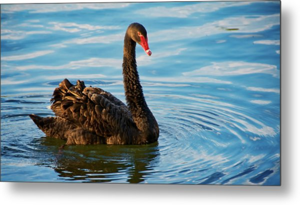 Black Swan Making Ripples  Metal Print