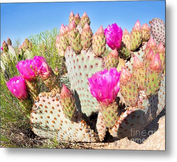 Blooming Beavertail Cactus In Mojave Metal Print