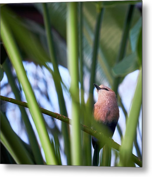 Metal Print featuring the photograph Blue-bellied Roller by Whitney Goodey
