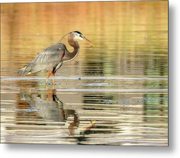 Blue Heron Fishing Metal Print