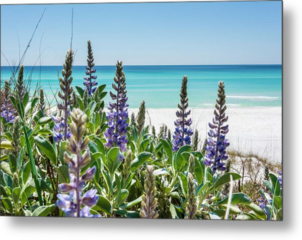 Blue Lupine On The Beach Metal Print