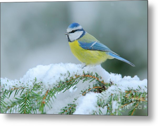 Blue Tit, Cute Blue And Yellow Songbird Metal Print