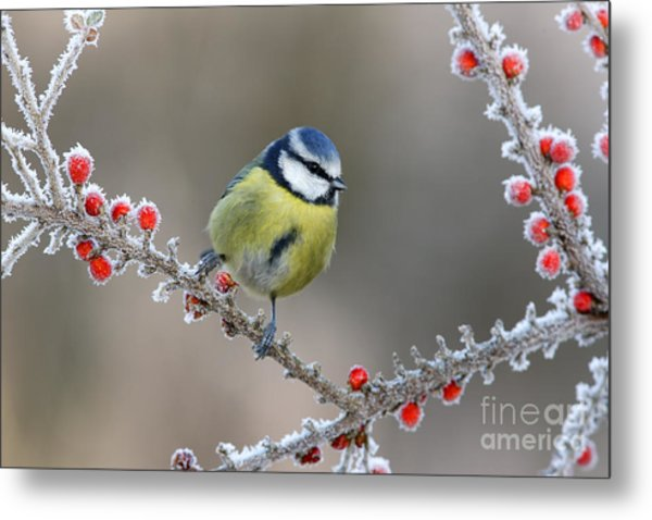 Blue Tit Parus Caeruleus, On Berries In Metal Print