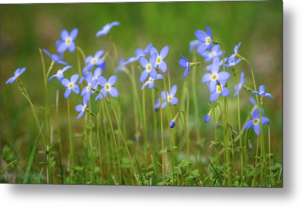 Blue Wild Flowers Bluets Metal Print