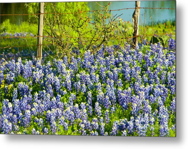 Bluebonnets, Texas Metal Print