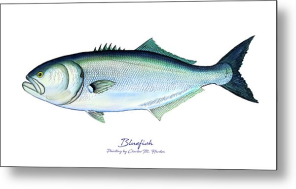 Bluefish Metal Print