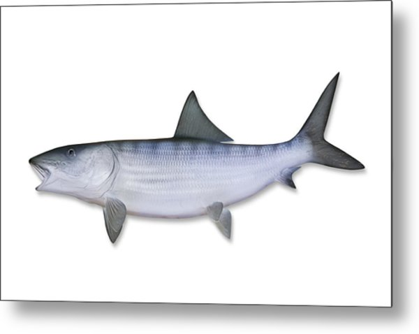 Bonefish With Clipping Path Metal Print by Georgepeters