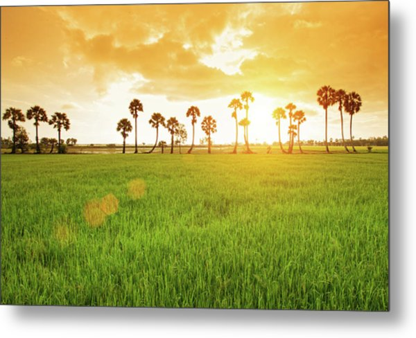 Borassus Flabellifer Field Metal Print by Jethuynh