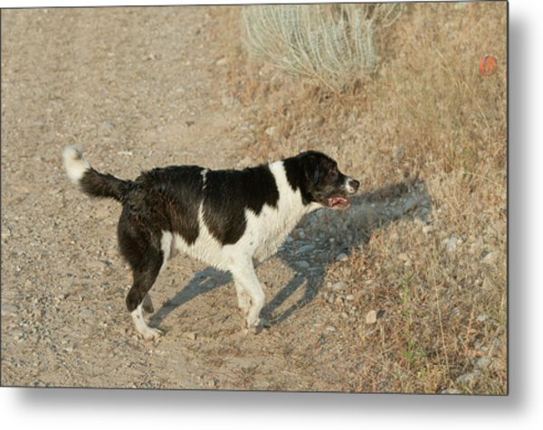 Border Collielabrador Retriever Mix Metal Print by William Mullins