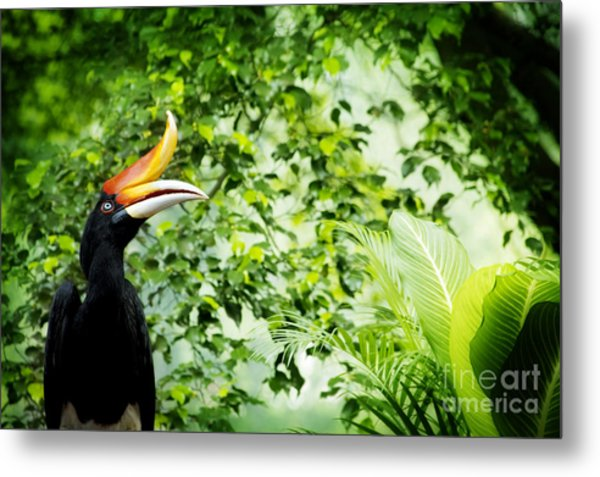 Borneo Exoctic Great Hornbill In Metal Print