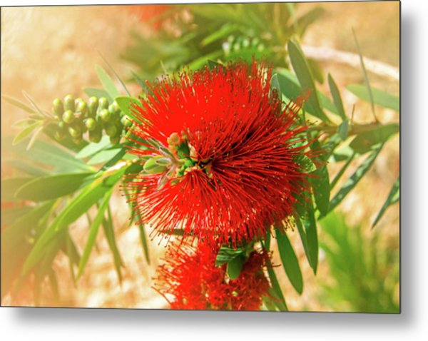 Bottlebrush Bloom Metal Print