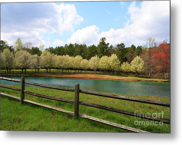 Bradford Pear Trees Blooming Metal Print