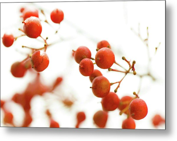 Brazilian Pepper 0493 Metal Print