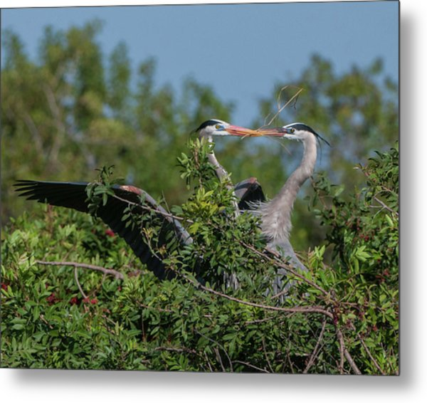 Metal Print featuring the photograph Breeding Herons by Donald Brown