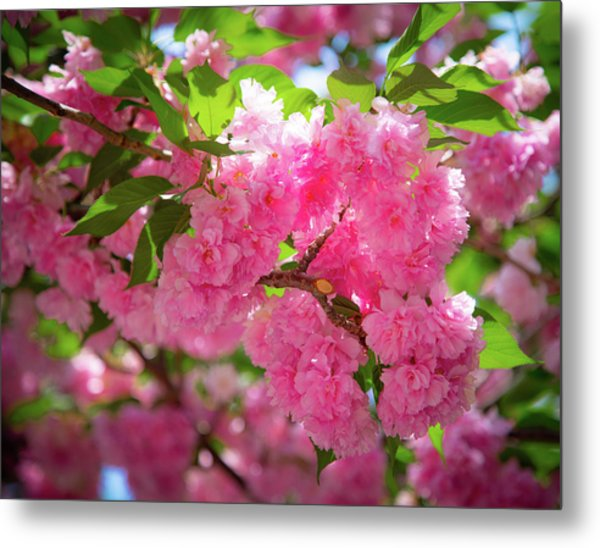 Bright Pink Blossoms Metal Print