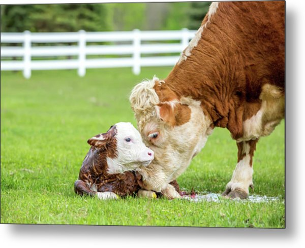 Brown & White Hereford Cow Licking Metal Print by Emholk