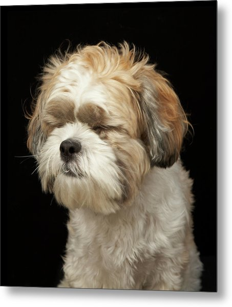 Brown And White Shih Tzu With Eyes Metal Print
