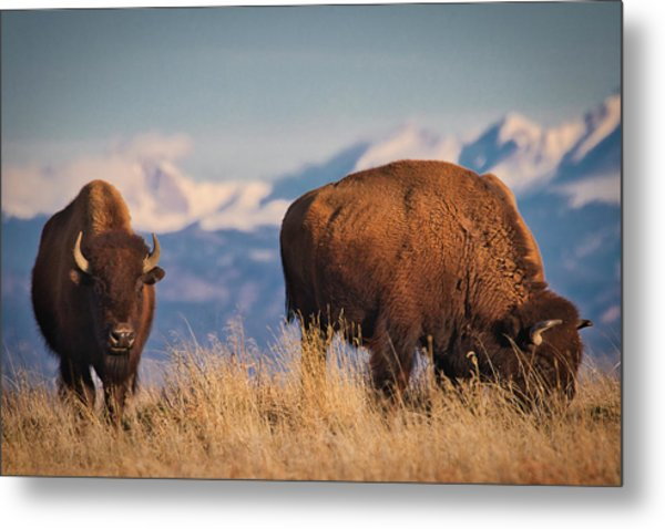 Buffalo Grazing At Dawn Metal Print