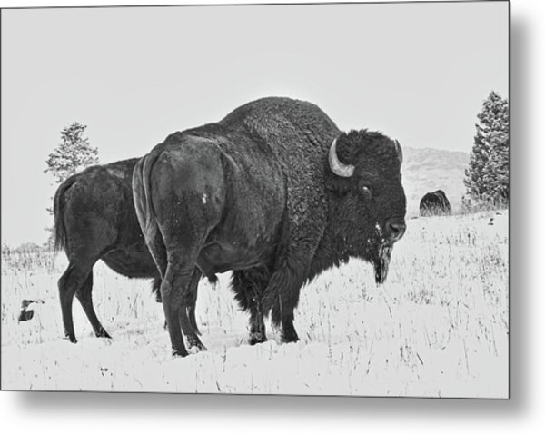 Buffalo In The Snow Metal Print