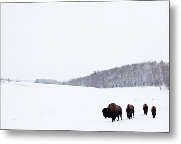 Buffalo Or Bison On The Plains In Winter Metal Print