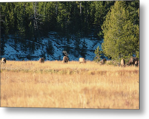 Metal Print featuring the photograph Bull And His Babes by Pete Federico