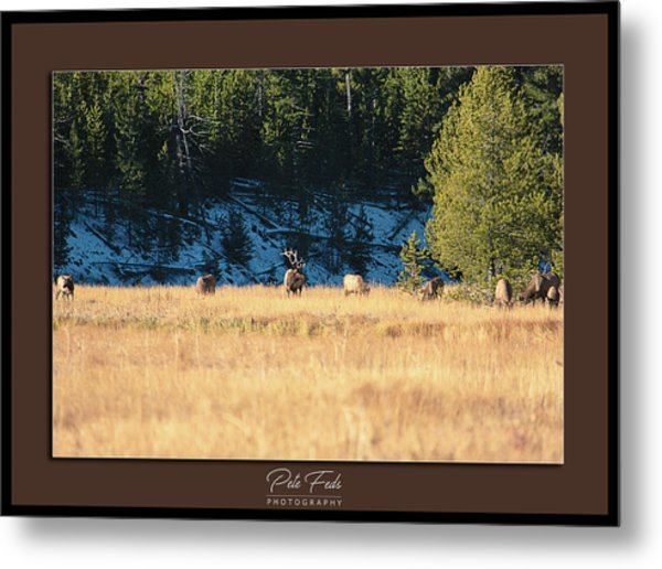 Metal Print featuring the photograph Bull And His Babes Poster by Pete Federico