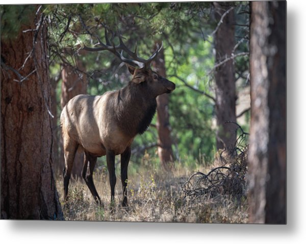 Metal Print featuring the photograph Bull Elk by Philip Rodgers