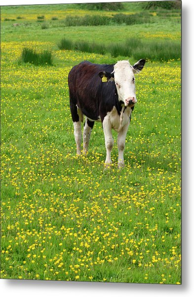 Bullock In Field Metal Print by Myloupe/uig